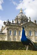 Strut Photos - Peacock In Front Of A Building by John Short