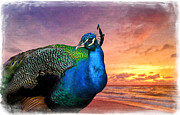 Sunset Greeting Cards Posters - Peacock in Paradise Poster by Debra and Dave Vanderlaan