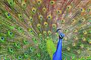 Animal Body Part Framed Prints - Peacock Framed Print by Jeff R Clow