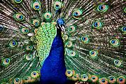 Lincoln City Framed Prints - Peacock Framed Print by Karen M Scovill