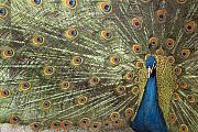 Hand Tinted Prints - Peacock Print by Michael Hudson