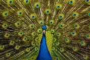Beautifull Posters - Peacock Pavo Cristatus Displaying Tail Poster by Paul D Stewart