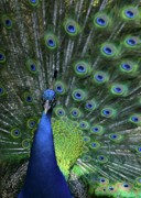 Handsome Photos - Peacock by Sabrina L Ryan
