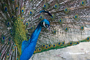 Colorful Bird Prints - Peacock Show Off by Carmen Del Valle