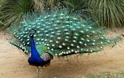 Patricia Barmatz - Peacock Showing All...