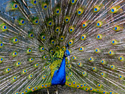 Strut Prints - Peacock Splendour I Print by Al Bourassa
