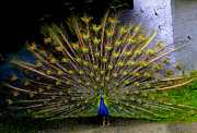 Strut Photos - Peacock Splendour II by Al Bourassa