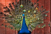 Peafowl Photos - Peacock tails by Paul Ward