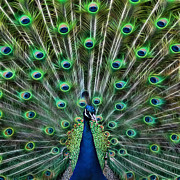 Peacock Metal Prints - Peacocking Metal Print by Joetta West