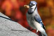 Bluejay Metal Prints - Peanut Snatcher Metal Print by Debra Straub