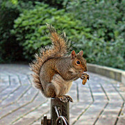 Squirrel Metal Prints - Peanuts for lunch Metal Print by Jasna Buncic