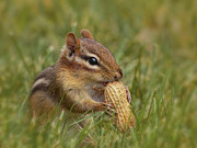 Chipmunk Photos - Peanuts by Robin-lee Vieira