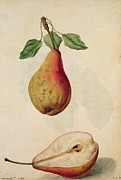 Signed Metal Prints - Pear   Pyrus Communis Metal Print by J le Moyne de Morgues