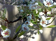 Tis Art Art - Pear Blossom by Tis Art