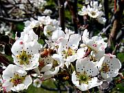 Tree Blossoms Prints - Pear Blossoms And Bee Print by Will Borden