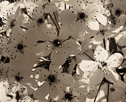 Dark Sepia Prints - Pear Blossoms in Sepia Print by Tony Grider