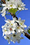 Tree Blossoms Prints - Pear Tree Blossoms Print by Thomas R Fletcher