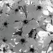 TONY GRIDER - Pear Tree Blossoms