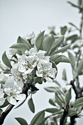 Tree Blossoms Prints - Pear Tree Branches Print by Iris Lehnhardt
