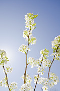 Y120831 Art - Pear Tree In Spring by Blue Line Pictures
