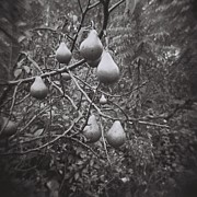 Holga Images Framed Prints - Pear Tree Framed Print by Lynn-Marie Gildersleeve