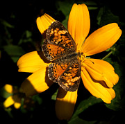 Thomas Young Photos - Pearl Crescent Butterfly by Thomas Young