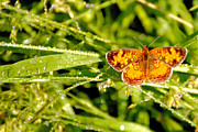 Droplets Originals - Pearl Crescent Butterfly Wisconsin by Laura Pineda
