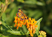 Reflections Of Infinity Llc Prints - Pearl Crescent on Butterfly Weed Flowers 1 Print by Robert E Alter Reflections of Infinity LLC