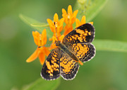Reflections Of Infinity Llc Prints - Pearl Crescent on Butterfly Weed Flowers 2 Print by Robert E Alter Reflections of Infinity LLC