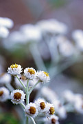 Everlasting Flower Photos - Pearly Everlasting (anaphalis Sp.) by Alan Sirulnikoff