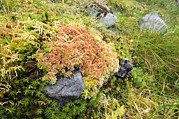 Goldilocks Metal Prints - Peat Moss (sphagnum Sp.) Metal Print by Duncan Shaw