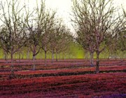 Pumpkin Digital Art Originals - Pecan Trees by Michael Thomas