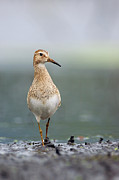 Marsh Bird Prints - Pectoral Sandpiper Calidris Melanotos Print by Scott Leslie