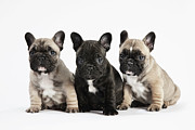 Looking Out Side Framed Prints - Pedigree French Bulldog Puppies In A Row On White Framed Print by Andrew Bret Wallis