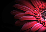 Gerber Daisy Art - Peek - A Boo by Arnie Goldstein