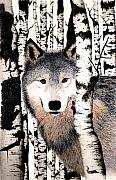 Wolf Drawings Framed Prints - Peek-a-boo Framed Print by Brent Ander
