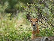 Whitetailed Deer Posters - Peek A Boo Poster by Ernie Echols