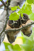 Owl Print Prints - Peek-A-Boo Fledglings Print by Tim Grams