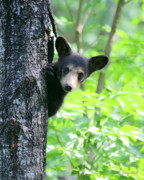 Black Bear Cubs Prints - Peek-a-Boo Print by Gerry Sibell