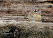 Chippy Photos - Peek A Boo by Lori Deiter
