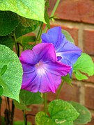 Magenta Art - Peek-a-Boo Morning Glories by Carla Parris
