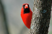 Male Northern Cardinal Posters - Peek a Boo Poster by Thomas R Fletcher