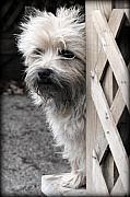 Cairn Terrier Photos - Peeking by Crystal Rolfe