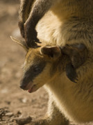 Wallaby Photos - Peeking Out by Mike  Dawson
