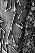 Peeling Bark Prints - Peeling Bark Print by Bob Rowlands