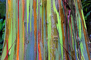 Colorful Bark Prints - Peeling Bark- St Lucia. Print by Chester Williams