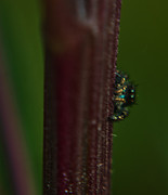 Jumping Spiders Prints - Peeping Tom Print by Kris Napier