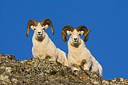 Ram Horn Art - Peering Rams by Tim Grams