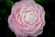 Camellia Photo Metal Prints - Pefectly Pink Metal Print by Rich Franco