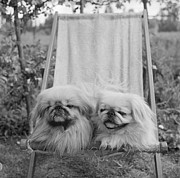 Pekingese Framed Prints - Pekinese Pets Framed Print by R Mathews